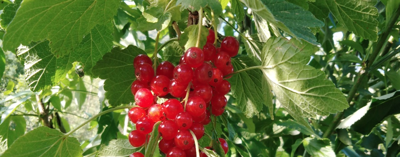 Ribes rosso